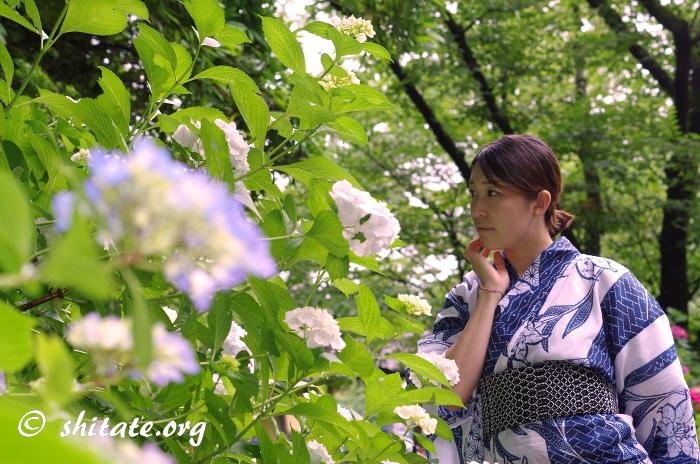 紺の浴衣女子と紫陽花